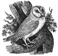 Ксилография из Истории птиц Британии (Томас Бьюик, 1847 г.)