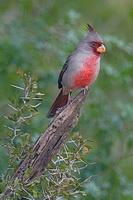 Птица Кардинал
